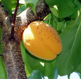 Идеальный армянский абрикос